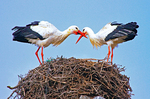 Bill-Clapping Courtship Display, European White Stork on Nest, Ciconia ciconia