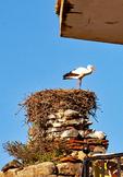 European White Stork on Nest in house, Ciconia ciconia