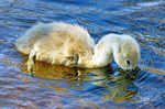4 Day Old Baby Mute Swan with Head in Water, Cygnus olor