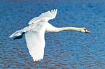 Mute Swan Flying, Cygnus olor