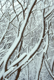 Woods in Winter, Snow Covered Trees