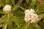 Western Pearly Everlasting, Anaphalis margaritacea