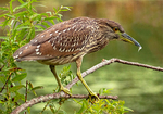 Immature Black-crowned Night Heron, Nycticorax nycticorax