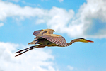 Great Blue Heron Flying, Ardea herodias