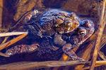 American Toads Mating, Bufo americanus, Anaxyrus americanus