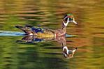Eclipse Male Wood Duck Plumage, Aix sponsa