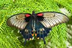 Female Great Mormon Butterfly, Papilio memnon