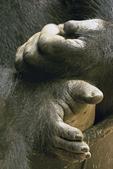 Western Lowland Gorilla, Gorilla gorilla gorilla