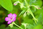 Sticky Geranium, Geranium viscosissimum
