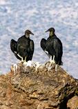 2 Black Vultures on Picacho Peak, Picacho Peak State Park, Arizona
