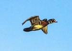 Male Wood Duck Flying, Aix sponsa