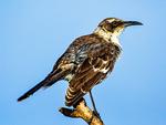 Galapagos Mockingbird, Mimus parvulus bauri, Tower Island, Genovesa Island, Galapagos National Park, Ecuador