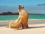 Galapagos Sea Lion Vocalizing on Beach, Gardner Bay, Espanola Island, Hood Island, Galapagos National Park, Ecuador