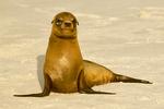 Galapagos Sea Lion, Zalophus wollebaeki