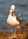 Western Gull with Nesting Material in Mouth, Larus occidentalis