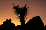 Silhouetted Yucca and Rock Formations at Sunset from the Discovery Trail, Joshua Tree National Park, Twentynine Palms, California