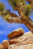 Cap Rock Erosional Formation and Joshua Tree, Quartz Monzonite Granite, Joshua Tree National Park, Twentynine Palms, California