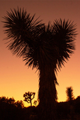 Joshua Tree Silhouetted at Sunset on the Hi-View Nature Trail, Joshua Tree National Park, Twentynine Palms, California