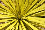 Joshua Tree Leaves, Yucca palm, Tree yucca, Palm tree yucca, Yucca brevifolia