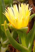 Common Iceplant, Crystalline Iceplant, Mesembryanthemum crystallinum
