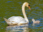 Mute Swan and Baby Cygnet Feeding on Seaweed, Cygnus olor