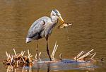 Great Blue Heron Eating Fish, Ardea herodias