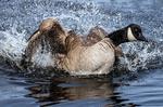 Canada Goose Splashing, Branta canadensis