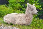 Rocky Mountain Bighorn Sheep Baby