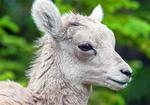 Rocky Mountain Bighorn Sheep Baby, Ovis Canadensis