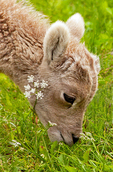 Rocky Mountain Bighorn Sheep Baby Eating Flowers, Ovis Canadensis