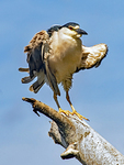 Black-crowned Night Heron With Wings Spread, Nycticorax nycticorax