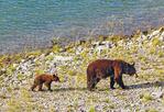 Black Bear Mother and Cub, Ursus americanus