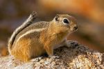 White-Tailed Antelope Squirrel, Ammospermophilus leucurus