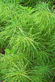 Common Horsetail, Field Horsetail, Mare's tail, Equisetum arvense