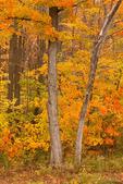 Autumn Foliage, Flat Rock Wildlife Sanctuary, Mass Audubon, Fitchburg, Massachusetts