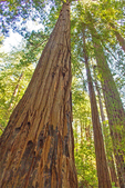Coast Redwood Trees, Sequoia sempervirens, Muir Woods National Monument, California