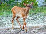 Male Roosevelt Elk, Cervus canadensis roosevelti, Cervus elaphus roosevelti