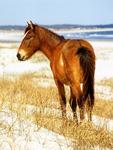 Wild Horse on Sand Dunes, Atlantic Ocean, Cumberland Island National Seashore, Georgia