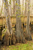 Bald Cypress Swamp, Kirby Storter Boardwalk, Big Cypress National Preserve, Florida