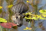 Alligator Swimming, Alligator mississippiensis