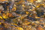 River Herring, Alewife Fish, Alosa pseudoharengus