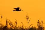Anhinga Flying with Nesting Material in Mouth at Sunset, Anhinga anhinga