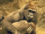 Mother Hugging Baby, Western Lowland Gorilla, Gorilla gorilla gorilla, Franklin Park Zoo, Boston, Massachusetts