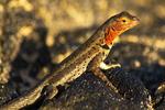 Female Lava Lizard, Santiago Lava Lizard, Microlophus albemarlensis, Microlophus jacobi, Sullivan Bay, Santiago, James, Galapagos National Park, Ecuador