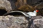 Red-Billed Tropicbird on Cliff Ledge, Phaethon aethereus