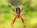 Zig-zag Spider, Neosconia oaxacensis, Neosconia cooksoni,