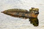 Marine Iguana Swimming, Amblyrhynchus cristatus