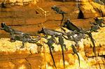 Marine Iguana on Cliff Wall, Punta Vicente Roca, Isabela, Amblyrhynchus cristatus
