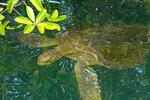 Galapagos Green Turtle Swimming, Chelonia mydas, Chelonia agassizii
