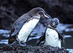 Galapagos Penguin Swimming, Spheniscus mendiculus